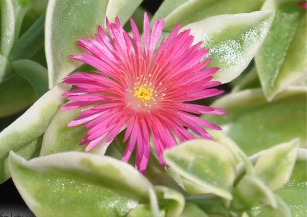 Aptenia Cordifolia Variegata - panaschierte Blätter verschiedene Blütenfarben