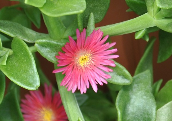 Aptenia Cordifolia - grüne Blätter verschiedene Blütenfarben